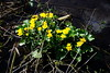 Kingcup or marsh marigold (Roger Bunting) Tags: worksop marshmarigold shireoaks chesterfieldcanal kingcup