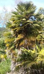 (sftrajan) Tags: botanicgarden jardinbotanico jardinbotanique botanischergarten botanischetuin universityofcaliforniabotanicalgardenatberkeley universityofcaliforniabotanicgarden