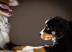 Vater & Sohn Part II [explore Apr 30, 2016 #25] (roland_lehnhardt) Tags: dog animal portait hund hunde bernersennenhund welpe bernesemoutaindog hundeportrait dogtrait hundeweplen