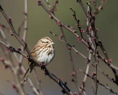 Song Sparrow (J.B. Churchill) Tags: birds us unitedstates maryland places allegany flintstone taxonomy songsparrow sosp sparrowstowhees rockygapsp