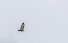 9Q6A9855 (2) (Alinbidford) Tags: lapwing cormorant buzzard greyheron littleegret redshank greatcrestedgrebe brandonmarsh alancurtis alinbidford weepingwillowbuds