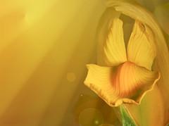 Intense! (Elisafox22 On/Off at the moment!) Tags: iris macro texture sunshine yellow lens petals sony 100mm f28 textured guiltypleasures simplepleasures promptaddicts netartii elisafox22 ilca77m2 elisaliddell2016