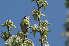 Blue Tit in a PlumTree (finor) Tags: bird nature tit wildlife sony alpha bluetit plumtree blaumeise mirrorless a6000 laea2 sal70400g2 ilce6000