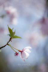 sakura (kenta_sawada6469) Tags: pink flowers trees plants white plant flower macro tree green nature colors cherry spring cherryblossom sakura