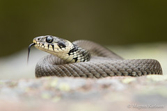 _M8A1262 (Montivipera) Tags: male adult snake grasssnake colubridae fieldherping oskarshamn natrixnatrix natricinae kalmarln vnevik oskarshamnkommun