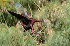Rubino White faced Ibis in flight 20160423 San Diego Safari Park 305 (Ryan Rubino) Tags: ca white flight plegadis ibis breeding faced iridescent plumage chihi