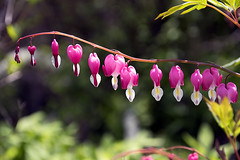 Bleeding Heart(Dicentra Spectabilis) (Johnnie Shene Photography(Thanks, 1Million+ Views)) Tags: pink wild people plant flower colour macro nature floral beautiful horizontal canon lens hearts wonder photography eos rebel living daylight dc spring flora focus scenery kiss asia day heart natural image outdoor no wildlife side scenic sigma tranquility scene korea depthoffield western flowering bleeding awe parallel viewpoint tranquil freshness foreground dicentra t3i x5 organism  spectabilis  fragility 600d 1770mm  f284