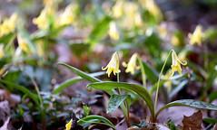 Gone Fishing (Lala Lands) Tags: dof bokeh goldenhour springflower erythroniumamericanum woodlandflowers nikkor105mmf28 springeveninglight springafternoonlight nikond7200 wildyellowtroutlilies yellowspringwildflowers paradisepondwoods
