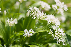 Ramsons - Wild Garlic (Macro light) Tags: flowers spring wildlife trust worcestershire ramsons wildgarlic naturereserves theknapp