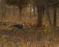Still works.......... (l_dewitt) Tags: nature birdwatching wildturkey birdwatcher wildlifeimages naturephotos wildlifephotos natureimages northamericanwildlife southernnewengland connecticutwildlife southeasternconnecticut newenglandwildlife nationalwildlifemagazinephotogrouppool earthnaturelife wildturkeyphotos wildturkeyimages nikonwildlifephotos