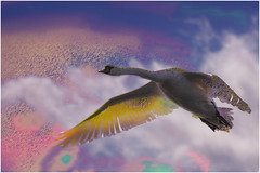 Swan (cees van gastel) Tags: nature birds flying swan edited vogels natuur breda zwaan tamron70300mm vliegend ceesvangastel canoneos550d waterdonken waterakkers