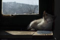 Viona resting (leporcia) Tags: cats animals cat kitten chat kitty gatos gato animales katze gatto katzen animalplanet gatito viona
