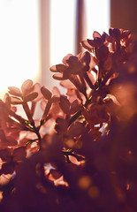 Lilac in the last rays (aksioma_13) Tags: sunset last spring ray blossom lilac bloom rays blooming
