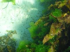 Seaweed on the FSC seawall (Figgles1) Tags: seaweed beach snorkel south snorkeling algae fremantle groyne southbeach fsc seaweeds southfremantle fremantlesailingclub p1020045