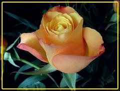 Rose (Gartenzauber) Tags: doublefantasy floralfantasy exquisiteflowers mimamorflowers flowerarebeautiful saariysqualitypictures thebestofmimamorsgroups greatshotss contactgroups mixofflowers esenciadelanaturaleza rosesforeveryone cocoonofdreams
