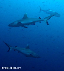 Grey reef sharks and tuna - Tiburones gris y atn (divingthecloud) Tags: sea fish pez animal shark mar agua diving tuna maldives atun tiburon buceo maldivas fotosub bajoelagua greyreefshark tiburongris