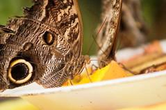 Mariposita (alejandrobaquerolml) Tags: mango mariposa comiendo