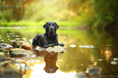 summer evening (Partridge-PetPics) Tags: summer dog reflection water river wasser labrador sonnenuntergang sommer retriever hund reflect labradorretriever feeling fluss spiegelung dogphotography blacklabrador sommerfeeling