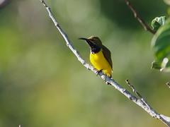 Olive-backed Sunbird (Oleg Chernyshov) Tags: olivebackedsunbird cinnyrisjugularis yellowbelliedsunbird cinnyrisjugularisplateni желтобрюхаянектарница синегрудаянектарница