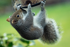 The Acrobat (freyjad1706) Tags: garden squirrel pick