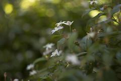 Tripladenia cunninghamii (louisa_catlover) Tags: flowers summer white plant art nature floral canon garden botanical eos flora december dof meetup artistic native bokeh outdoor australian australia melbourne victoria depthoffield m42 f2 manual russian botanicgarden 58mm helios australiannativeplant 2015 vintagelens colchicaceae helios442 60d royalbotanicgardensmelbourne tripladeniacunninghamii tripladenia melbournewalkandshootgroup