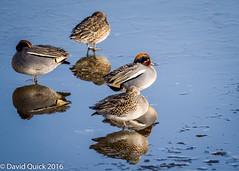 (DavidQuick) Tags: england teal reserve hampshire marsh wildlifetrust farlington copyrightdavidquick2016