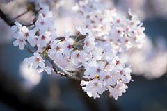 Sakura /  (Cheng-Yang, Chen) Tags: cherry blossom bokeh sakura  japanesestyle