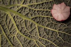 Macro Monday: Savoy and Radish (Tria-media_Sven) Tags: macro vegetables makro radish savoy gemüse radieschen wirsing macromondays canoneos5dmarkiii