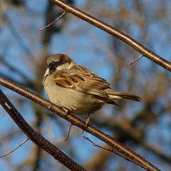 House Sparrow (Dendroica cerulea) Tags: winter bird birds newjersey nj aves sparrow highlandpark housesparrow passerdomesticus songbird passer passeriformes englishsparrow fav10 middlesexcounty passeridae passeri donaldsonpark passerida passeroidea psittacopasserae eufalconimorphae