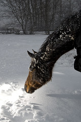 Curiosity (Nix Alba) Tags: winter horses horse snow nature weather nikon outdoor snowstorm speedlight racehorse thoroughbred equine onelight equines offtrack strobist sb900