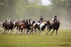 Tropillas 1 (pniselba) Tags: horse criollo caballo buenosaires gaucho tradicion provinciadebuenosaires sanantoniodeareco areco tropilla diadelatradicion