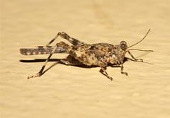 Tetrigidae, Groundhopper sp. - South Africa (Nick Dean1) Tags: macro canon southafrica cricket grasshopper orthoptera hopper animalia arthropoda satara insecta hexapoda tetrigidae canon7d