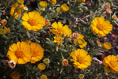 Woolly Daisy (Asteraceae- Eriophyllum wallacei) 4288 x 2848 (Charlotte Clarke Geier) Tags: wallpapers screensavers