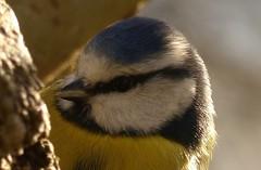 Blue Tit (Feathers (Allan)) Tags: closeup bluetit
