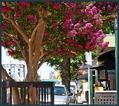Pakenham's Main Street Crepe Myrtle tree flowering. (fotograf1v2) Tags: street summer flora australia victoria streetscape shoppingprecinct pakenham floweringtrees streettrees crepemyrtletrees cardiniashire