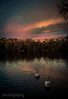 Swan lake (Alex Chilli) Tags: sunset sky lake clouds reflections surrey swans guildford puttenhamcommon instantfave goldwildlife