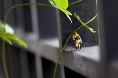 Preiser HO 1:87 - The Cyclist (hanks studio) Tags: people plant green bicycle sport photography design miniature model singapore cyclist creative victory cycle malaysia ho figurine 187 johor bahru preiser hanksstudio hanks55 preisersuperset
