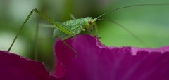 Hopper pano (Michel Couprie) Tags: flower macro nature animal canon insect eos 7d grasshopper michel essonne couprie ef10028lmacro