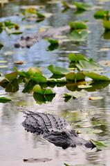 Alligators (Mokkataartje) Tags: everglades alligators anhinghatrail