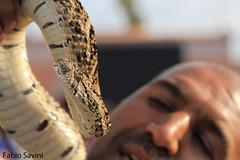 Bitis arietans (Fabio Savini) Tags: bitis arietans vipera soffiante puff adder jamaa el fna marrakech morocco snake charmer incantatore di serpenti fabio savini naturalistic photo poisonous africa venomous