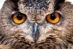 Eagle Owl (glank27) Tags: birds canon photography eos is eyes eagle wildlife owl usm 70d ef70300mm f456l