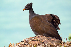 _DSC5921 (David Hamments) Tags: bird darwin austraila orangefootedscrubfowl