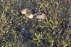 Short-eared Owl (Asio flammeus) (Brian Carruthers-Dublin-Eire) Tags: bird owl birdofprey bop asio strigiformes strigidae shortearedowl asioflammeus shorteared flammeus sumpfohreule hiboudesmarais velduil gufodipalude lechuzacampestre