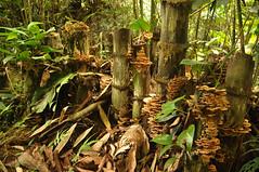 Mushroom city (mansi-shah) Tags: rainforest farming coorg madikeri forestecology mansishah rainforestretreat jenniferpierce ceptsummerschool
