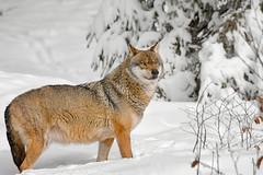 The wolf (marypink) Tags: winter forest germany bavaria wolf germania lupo baviera canislupus canidae eurasianwolf bayerischerwaldnationalpark nikkor80400mmf4556 nikond7200