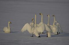 Japan. (richard.mcmanus.) Tags: winter birds animal japan wildlife swans gettyimages mcmanus whooperswans lakekussharo
