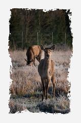 7- Houtvenne (lydia_pauwels) Tags: edelherten