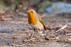 Pettirosso _013 (Rolando CRINITI) Tags: bird natura uccelli uccello arenzano pettirosso ornitologia
