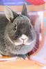 Sweetie Bell 2 (Marlboro Lam) Tags: cute rabbit bunny kawaii netherlanddwarf netherlanddwarfrabbit
