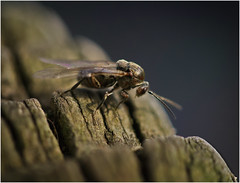 Focus on the eyes! (Pitheadgear) Tags: macro nature insect lumix canal fly insects canals flies closeups waterways entomology macrophotography mbbc leicamacro manchesterboltonburycanal microfourthirds lumixgx1